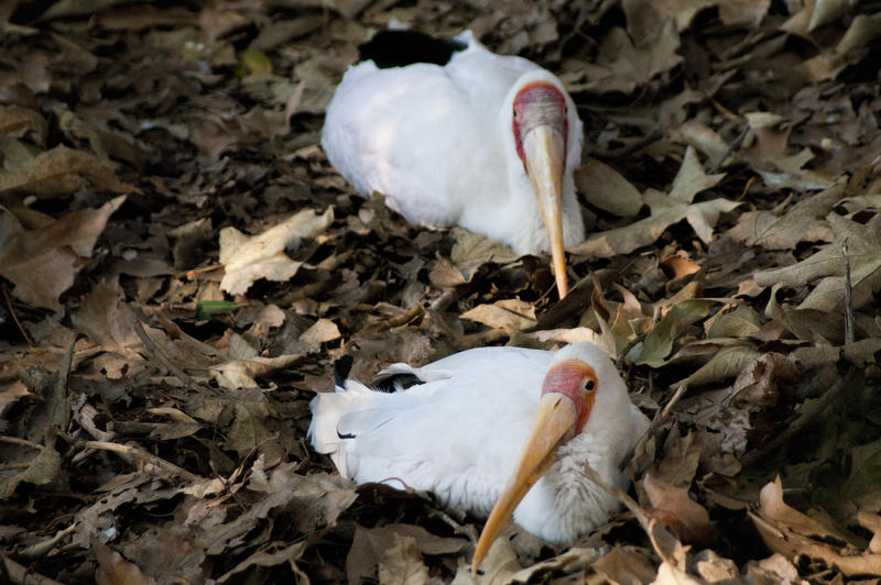two young yellow billed storks sat on a bed of leaves