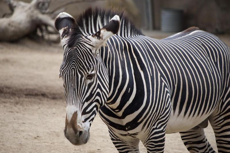 2264-zebra