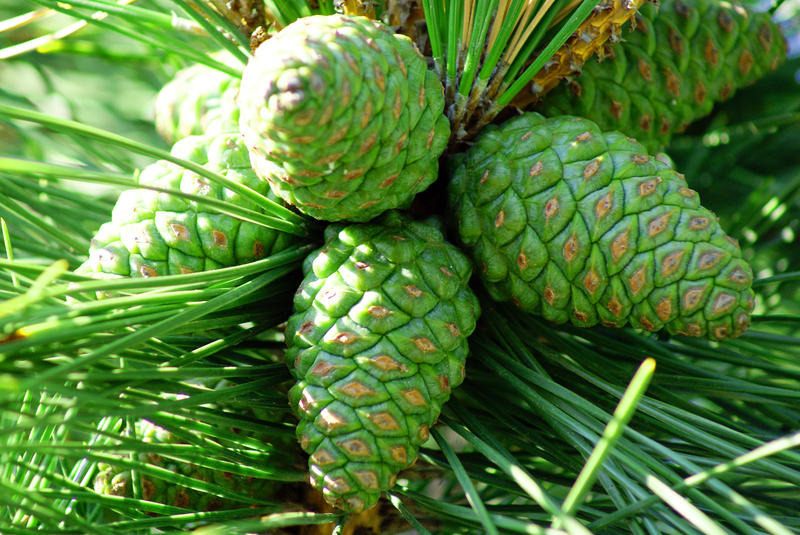 <p>Pine Cones</p>A group of pine cones in a tree