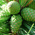 3780-Pine Cones