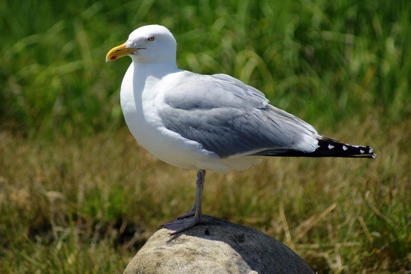 <p>Seagull On Rock I</p>Sony A-330 DSLR