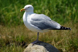 3737-Seagull On Rock