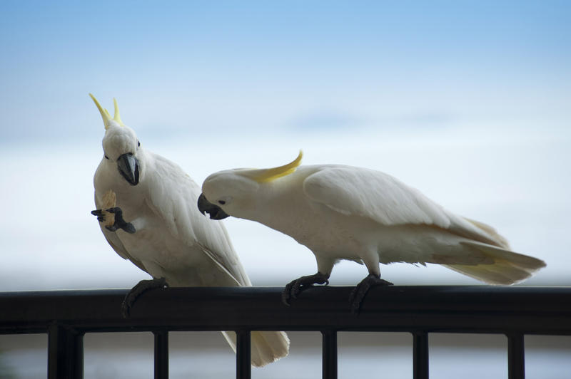 a pair of sulphur crested cockatoos, one looking enviously at the cracker then other one is eating