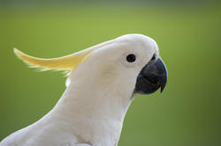 4252   sulphur crested cockatoo