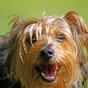 3742-Yorkshire Terrier