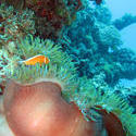 3336   anemonefish