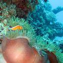 3336   anemonefish