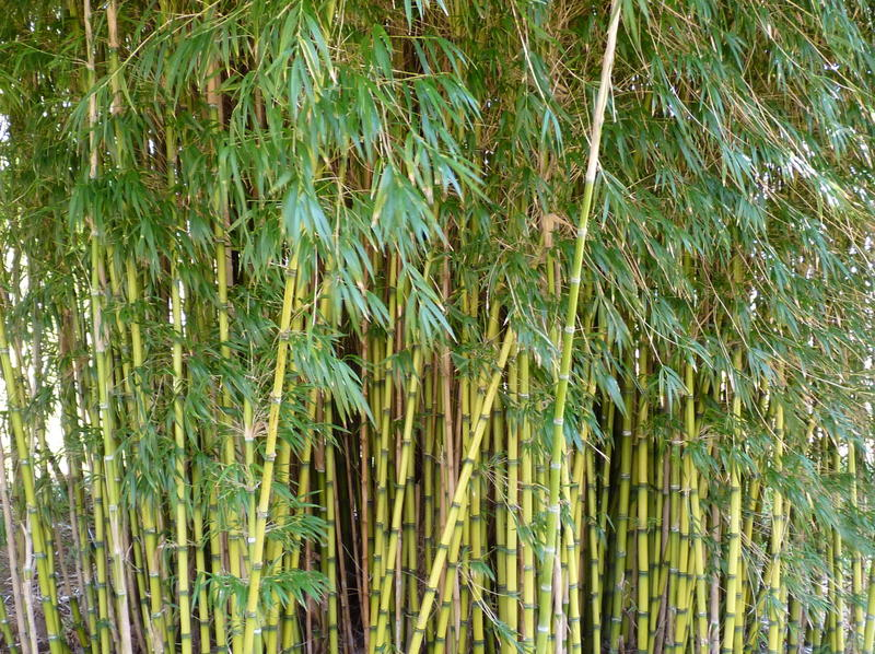 <p>Bamboo jungle at Kingston Lacey</p>