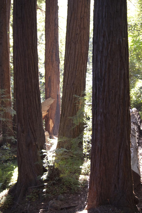 tall california sequoia trees