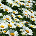 4299   Daisies