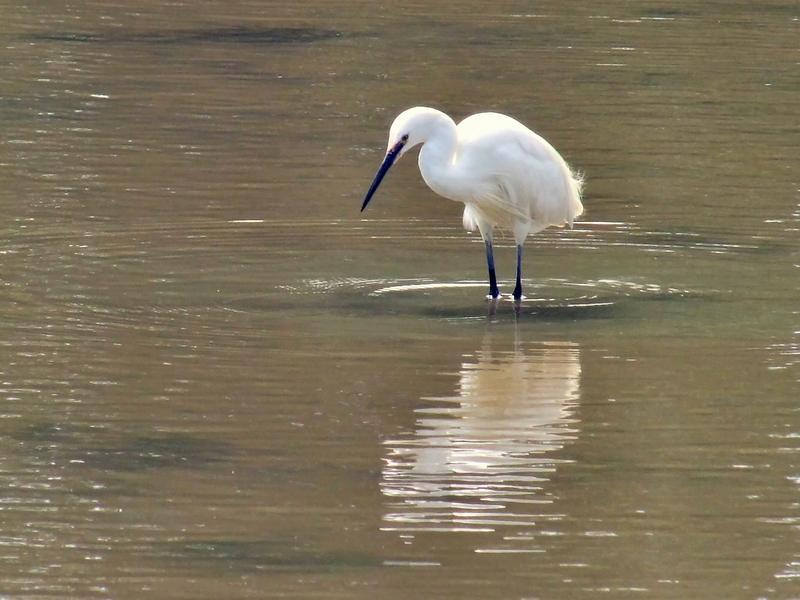 <p>Egret on the mill pond, Wootton Bridge, Isle of Wight&nbsp;</p>