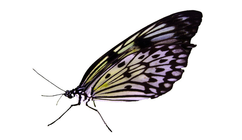 <p>Exotic butterfly on a white background</p>