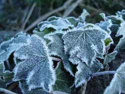 3456-frozen ivy leaves