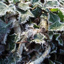 3457-frozen ivy background