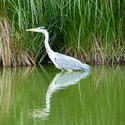 4207   heron reflection
