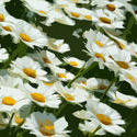 4319   Daisies