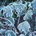 3487-icy leaves