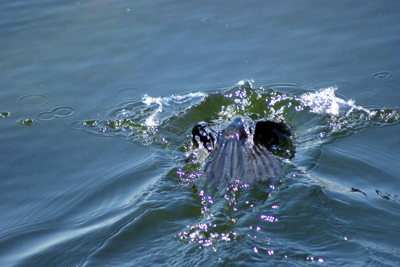 <p>Shot of a Loon just as he dives under</p>SONY DSC