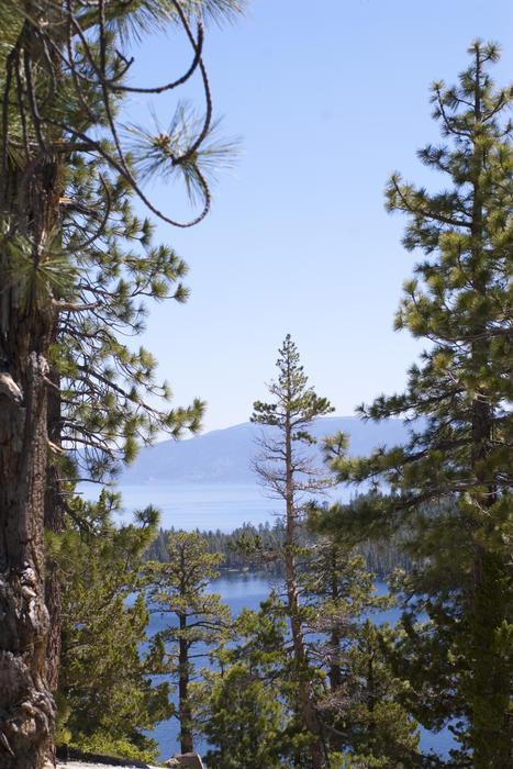 3077-Sugar Pine Trees