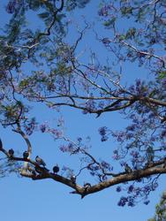 4368   jacaranda tree