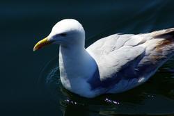 4311   Seagull Closeup