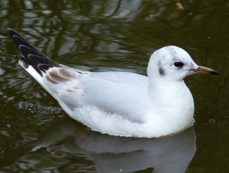 <p>Gull on Poole Park Lake.jpg.</p>