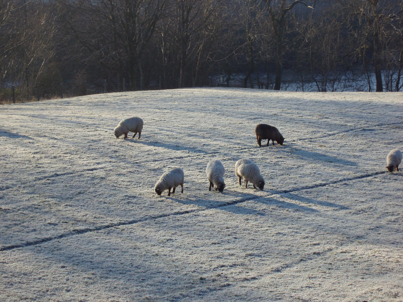sheep grazing on a frozen field