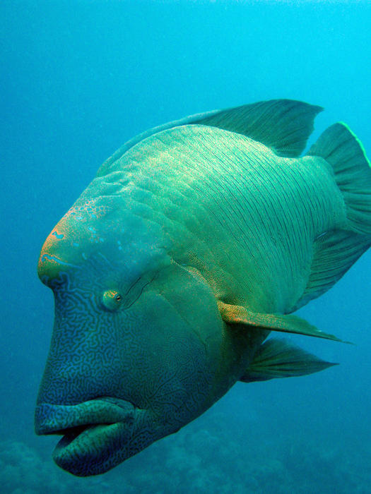 a humphead wrasse on the coral reef