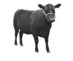 5010   angus cow