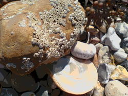 4581   beach barnacles
