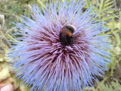 4587   bee thistle