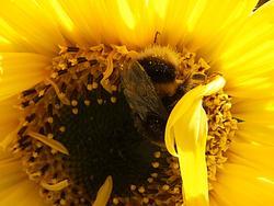 4935   bee  in sunflower1