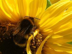4936   bee  in sunflower2