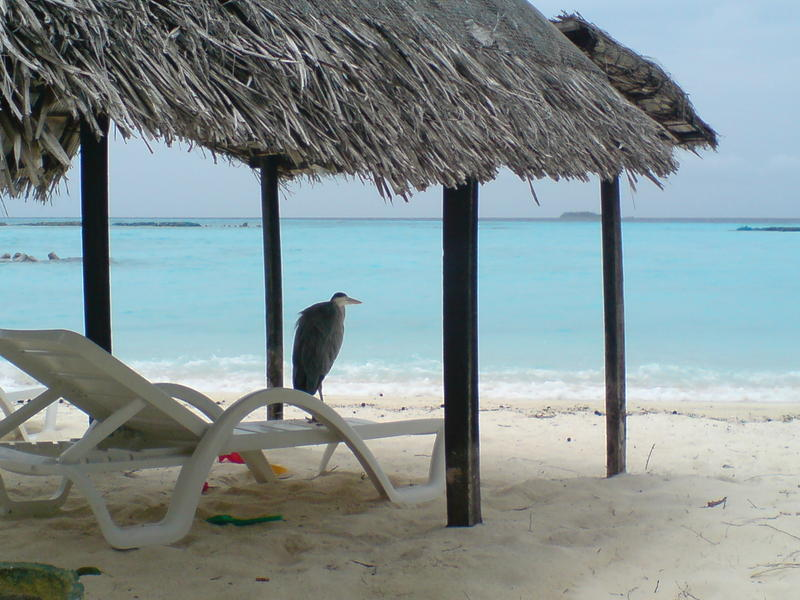<p>maldivian beach heron looking out to sea</p>