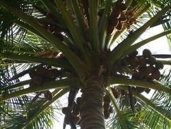 4529   coconuts palm tree