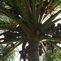 4529   coconuts palm tree
