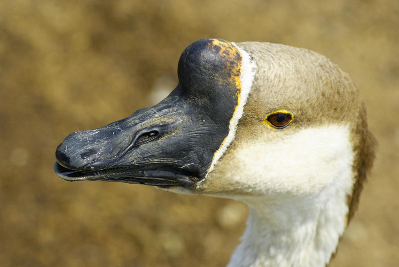 <p>Brown Domestic Goose</p>Close-up of a domestic Brown Goose