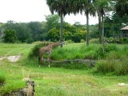 4778   giraffe