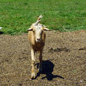 4540   Goat