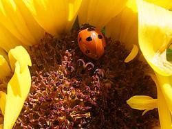 4938   ladybug in sunflower