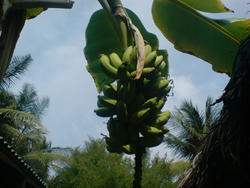 4465   maldives banana plant