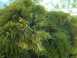 4463   maldives clownfish
