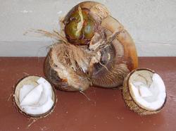 4527   maldives coconuts