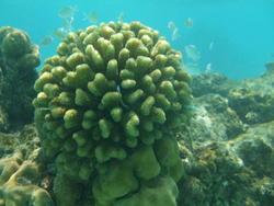 4470   maldives corals 0