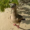 4526   maldivian beach duck