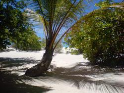 4485   maldivian palm