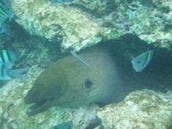 4467   moray eel