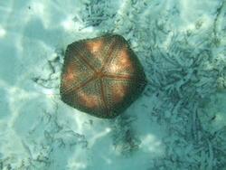 4468   pin cushion sea star