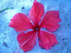 4505   red flower maldives