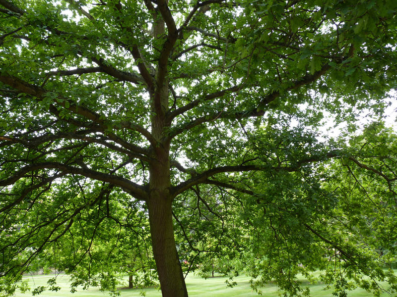 4537   spreading green tree